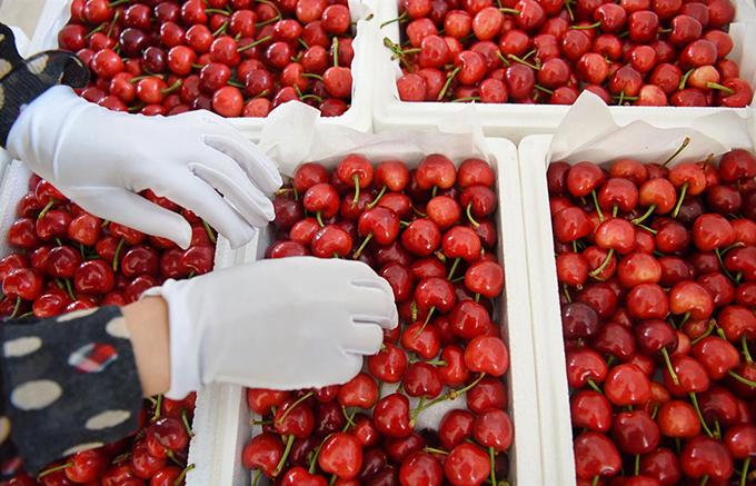 le-hoi-cherry-bac-kinh-viettiepfoods-vn-07